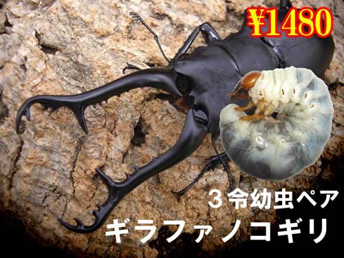 3月選抜品■ギラファノコギリ3令幼虫ペア(1ペアまで