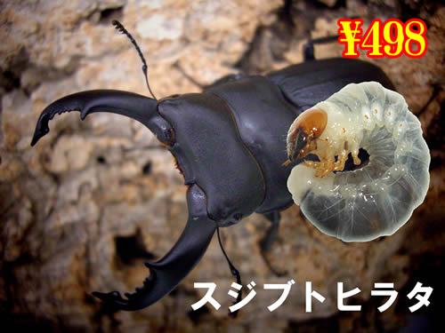 特選虫の市■離島 スジブトヒラタ幼虫(5頭まで