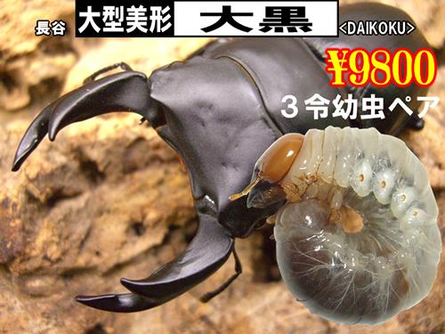 特選虫の市■SUPER個体【大黒】3令幼虫ペア(1ペアまで