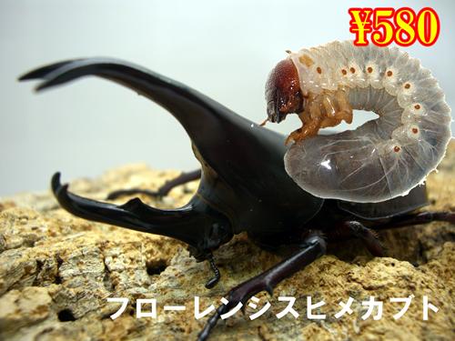 特選虫の市■フローレンシスヒメカブト幼虫(5頭まで