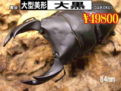 3月選抜品■SUPER個体【大黒】血統84mm成虫ペア
