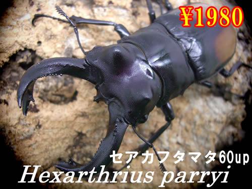 特選虫の市■セアカフタマタクワガタ60up成虫ペア(1ペアまで