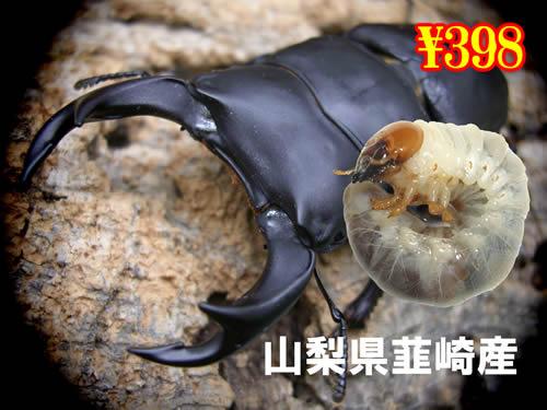 4月選抜品■韮崎産オオクワ幼虫(5頭まで