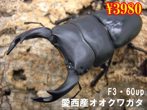 11月選抜品■F3愛西産オオクワガ60up成虫ペア(1ペアまで