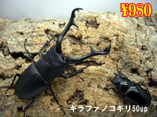 特選虫の市■ギラファノコギリ50up成虫ペア(1ペアまで