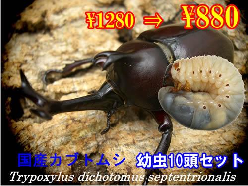 特選虫の市■国産カブトムシ幼虫10頭セット(1セットまで