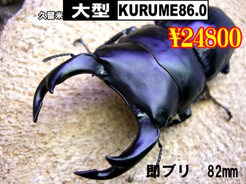 6月選抜品■即ブリS個体KURUME86.0血統82mm成虫ペア