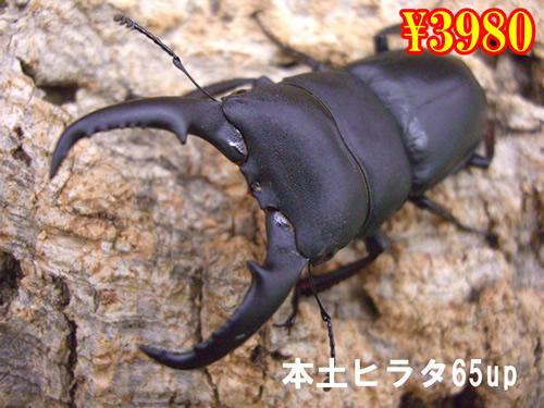 特選虫の市■本土ヒラタ65up成虫ペア(1ペアまで