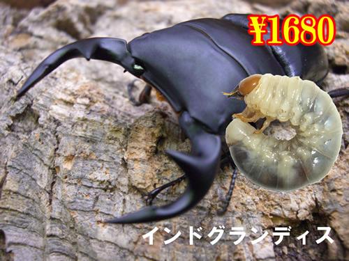 7月選抜品■インドグランディス幼虫(3頭まで