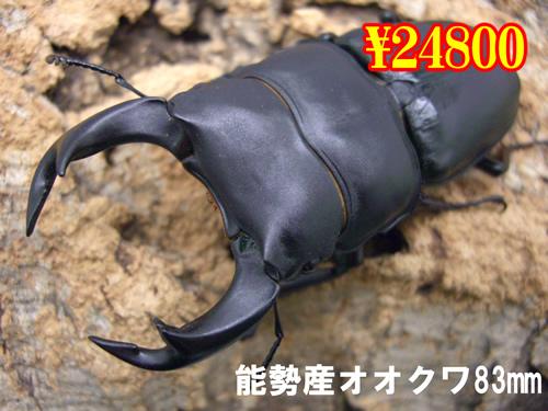 7月選抜品■能勢産オオクワ83mm成虫ペア(1ペアまで