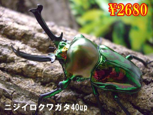 特選虫の市■ニジイロクワガタ40up成虫ペア(1ペアまで