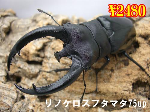 7月選抜品■リノケロスフタマタ75up成虫ペア(1ペアまで