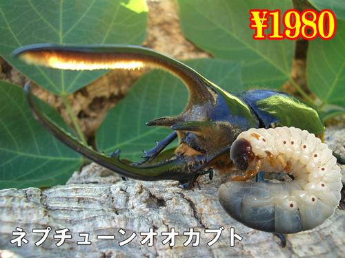 9月選抜品■ネプチューンオオカブト幼虫(3頭まで