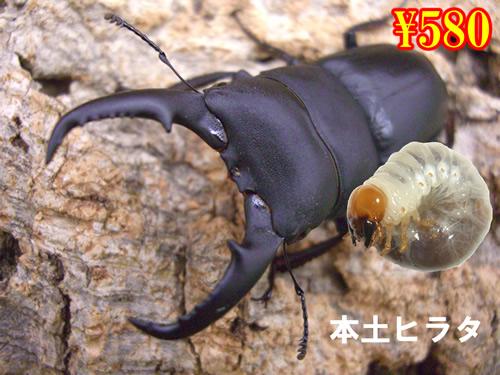 特選虫の市■本土ヒラタ幼虫(3頭まで