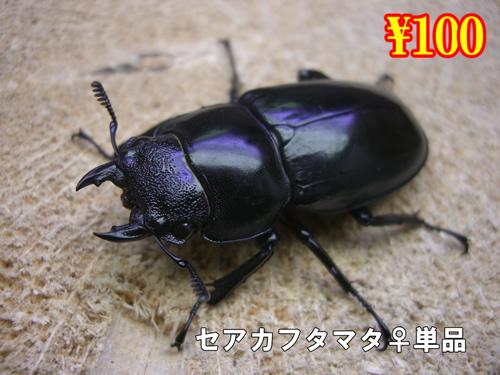 特選虫の市■セアカフタマタ成虫♀単品(10頭まで