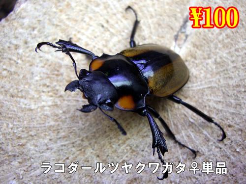 特選虫の市■ラコダールツヤクワガタ成虫♀単品(10頭まで