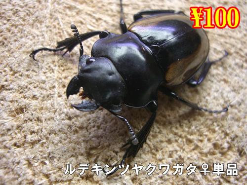 特選虫の市■ルデキンツヤクワガタ成虫♀単品(10頭まで