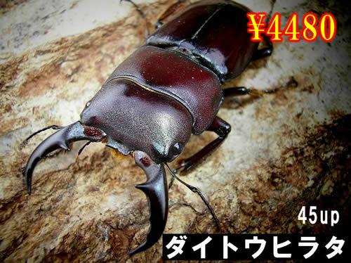 特選虫の市■離島 ダイトウヒラタ45up成虫ペア(1ペアまで