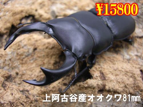 特選虫の市■上阿古谷産オオクワガタ81mm成虫ペア(1ペアまで