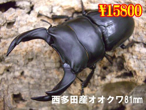 9月選抜品■西多田産オオクワガタ81mm成虫ペア(1ペアまで