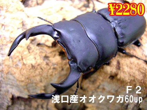 9月選抜品■浅口産オオクワガタ60up成虫ペア(1ペアまで