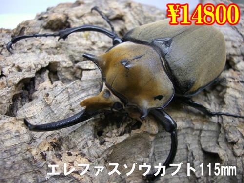 9月選抜品■エレファスゾウカブト115mm成虫ペア(限定1ペア)