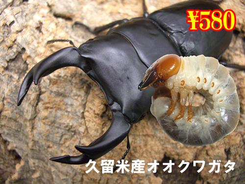 3月選抜品■久留米産オオクワガタ幼虫(3頭まで