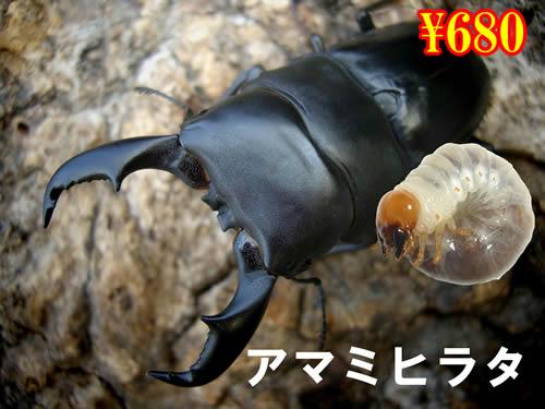 特選虫の市■離島 アマミヒラタ幼虫(3頭まで)