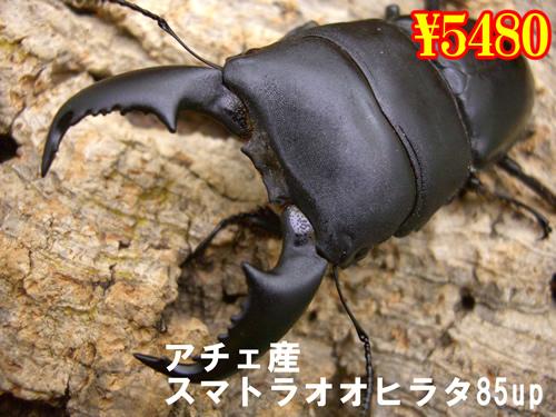 11月選抜品■アチェ産スマトラオオヒラタ85up成虫ペア(1ペアまで