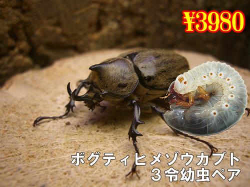 12月選抜品■ボグティヒメゾウカブト3令幼虫ペア(1ペアまで