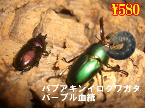 3月選抜品■パプアキンイロクワガタ パープル血統幼虫(3頭まで