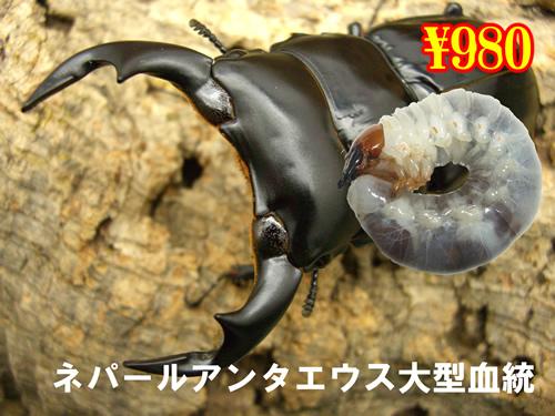 特選虫の市■ネパールアンタエウス大型血統幼虫(3頭まで