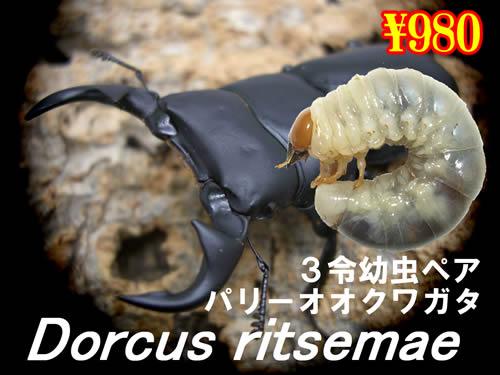 3月選抜品■リセツマ(パリー)オオクワガタ3令幼虫ペア(1ペアまで