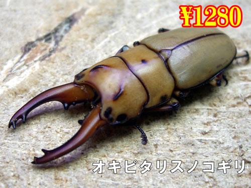特選虫の市■オキピタリスノコギリ成虫ペア(1ペアまで