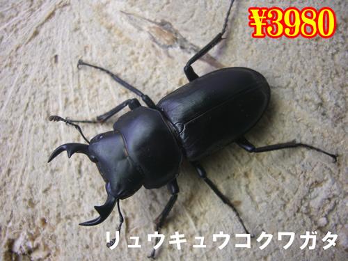 特選虫の市■リュウキュウコクワガタ成虫ペア(1ペアまで
