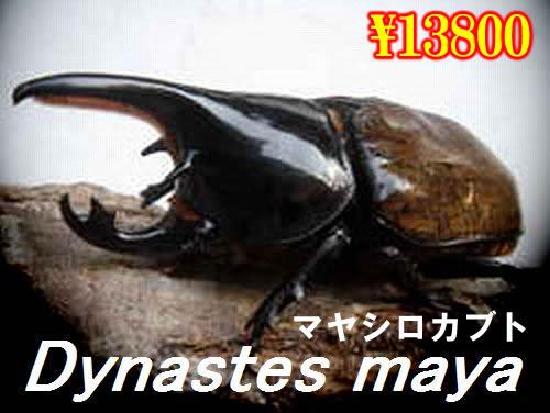 特選虫の市■マヤシロカブト成虫ペア