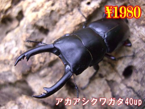 特選虫の市■アカアシクワガタ40up成虫ペア(1ペアまで