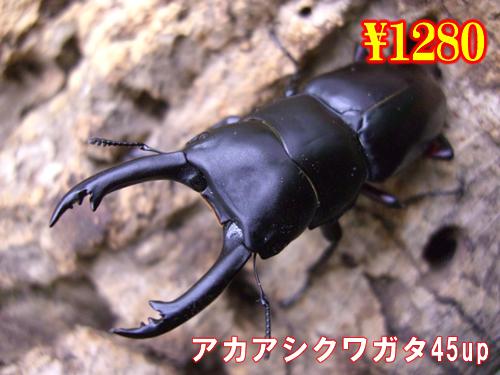 特選虫の市■アカアシクワガタ45up成虫ペア(2ペアまで