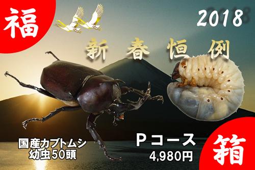 福箱★Pコース 国産カブトムシ幼虫 50頭