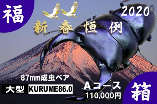 福箱★Aコース 【KURUME86.0】血統 87mm成虫ペア