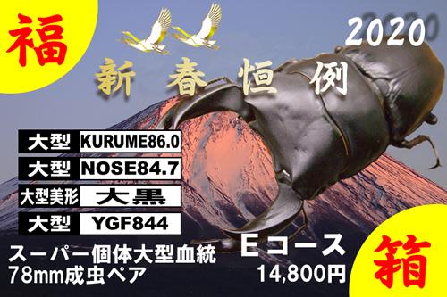 福箱★Eコース SUPER個体大型血統 78mm成虫ペア