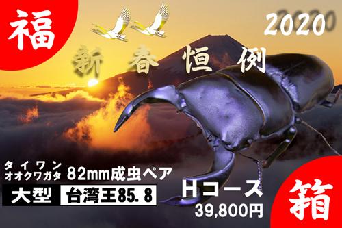 福箱★Hコース 【台湾王85.5】血統 82mm成虫ペア