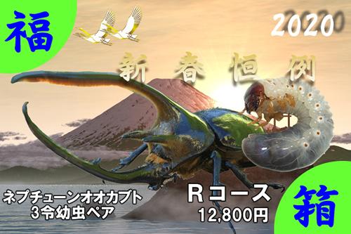 福箱★Rコース ネプチューンオオカブト3令幼虫ペア