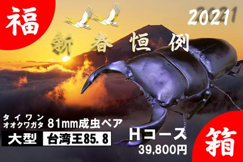 福箱★Hコース 【台湾王85.8】血統 81mm成虫ペア
