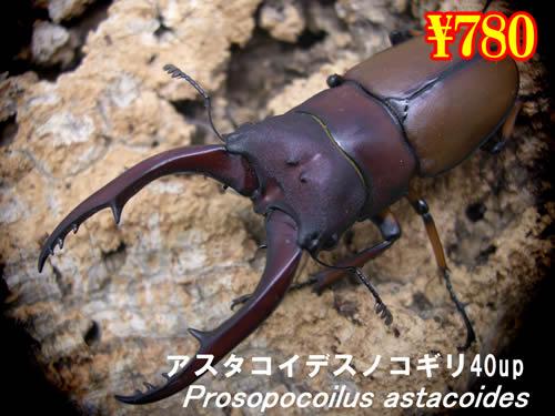 特選虫の市■アスタコイデスノコギリ40up成虫ペア(1ペアまで