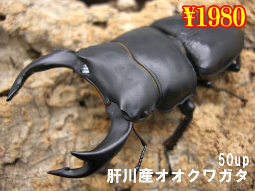 特選虫の市■肝川産オオクワガタ50up成虫ペア(1ペアまで