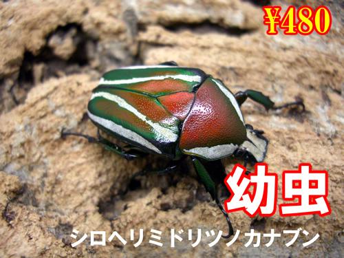 特選虫の市■シロヘリミドリツノカナブン幼虫(5頭まで