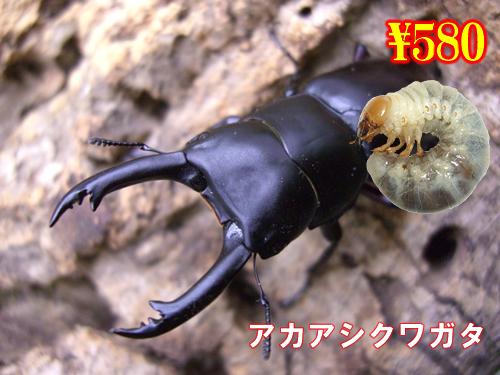特選虫の市■アカアシクワガタ幼虫(5頭まで