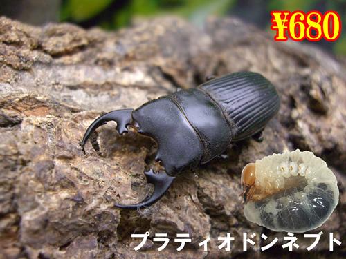 特選虫の市■プラティオドンネブト幼虫(3頭まで