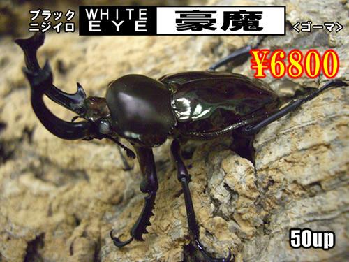 特選虫の市■SUPER個体【豪魔】血統50up成虫ペア